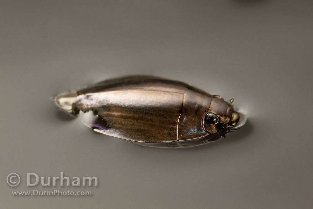 A whirligig beetle, or Gyrinidae beetle, (Dineutus sp) swimming in water. Central Texas.