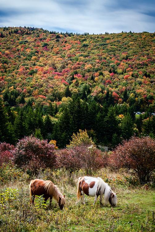 Wild ponies near Massey Gap in Grayson Highlands State Park.