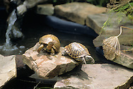 Two Little Turtles On Rock