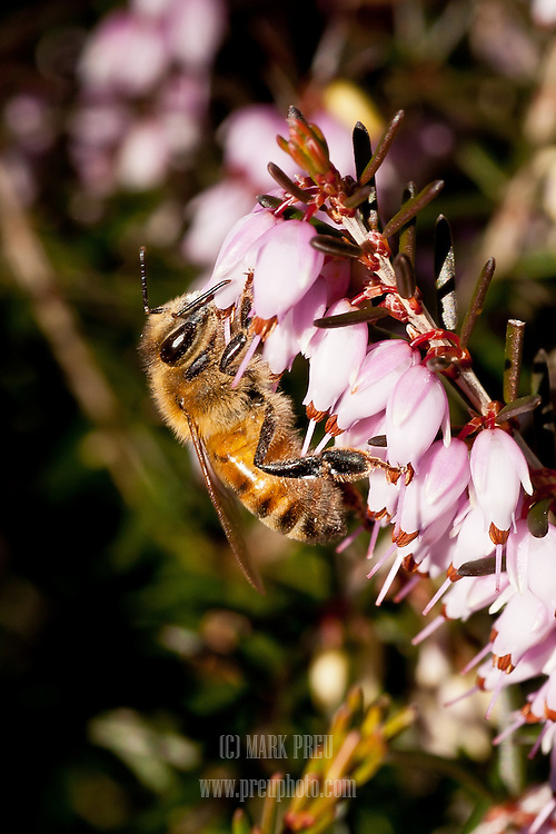 A rare 60 degree  day in January found hungry honey bees feasting on heath- the only thing in bloom at this time of year on Cape Cod.