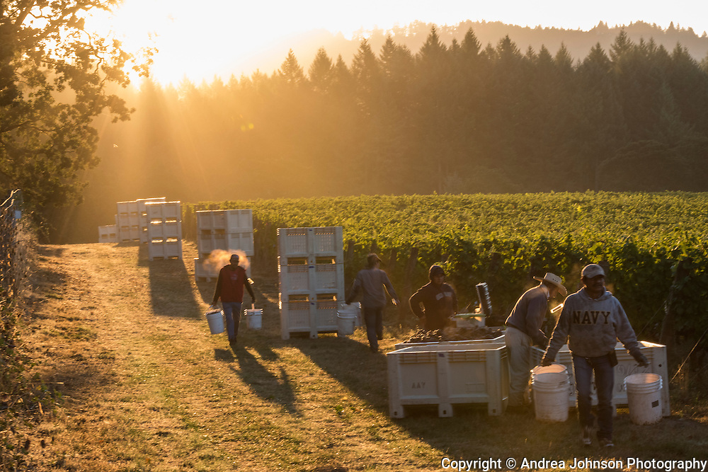 Pinot Noir harvest at Anne Amie Estate Vineyard, Willamette Valley, Oregon