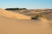 Sand dunes, beach grass and a tree island at Umpqua Dunes, Oregon Dunes National Recreation Area, Oregon Coast.