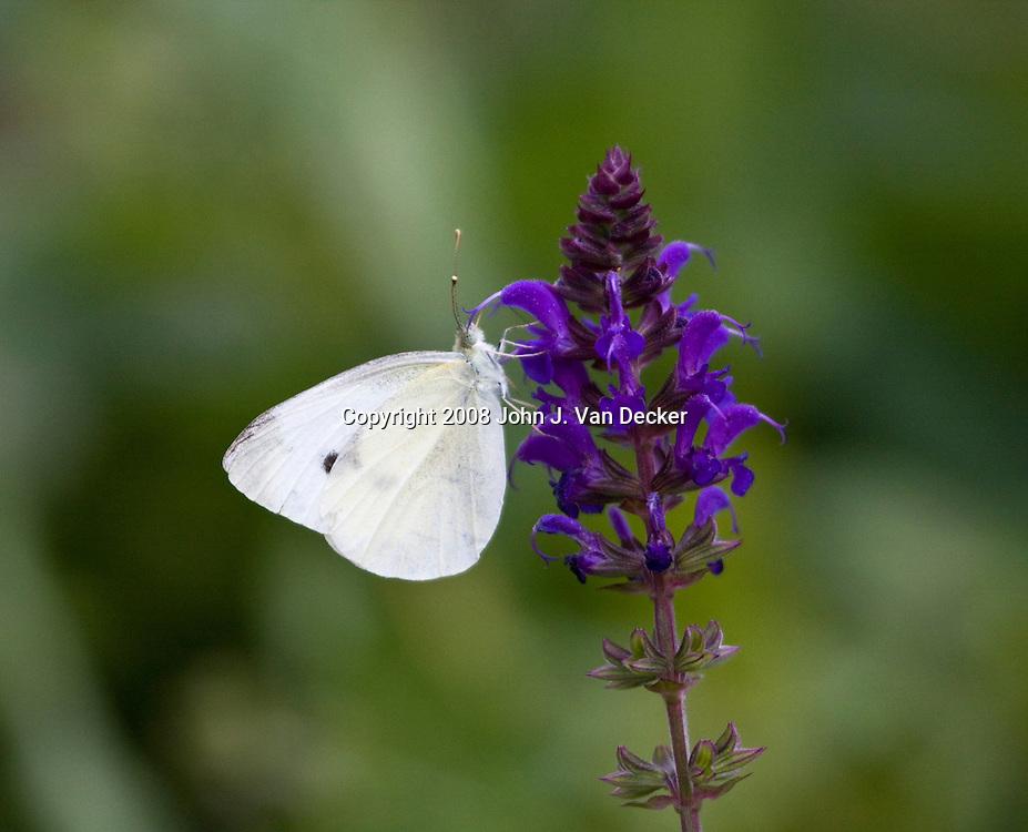 Cabbage White Butterfly, Pieris rapae, feeding on purple flower
