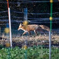 20200414-fox