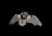 A juvenile Yuma bat (Yuma myotis) in flight at night in the Rogue River National Forest, Oregon.