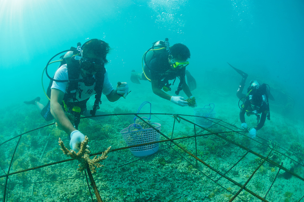 Participants at the 8th Annual Biorock Workshop attaching coral fragments to a new Biorock structure, Gili Trawangan, Lombok, Indonesia.