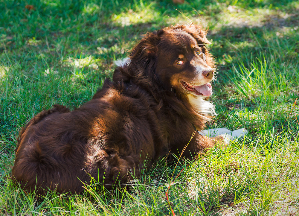 Cowboy, a six-year-old, red tri Australian Shepherd, lays in the sunshine, Oct. 4, 2014, in Coden, Alabama. (Photo by Carmen K. Sisson/Cloudybright)