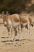 Onager (Equus hemionus). Part of a breeding nucleus of Wild Asian Asses at a reacclimation centre Yotvata Hai-Bar Nature Reserve, Israel