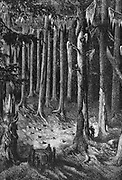Yosemite National Park: on the way through the forest to the Big Trees. Yosemite designated as a state park in 1864, then made a national park in 1890 together with surrounding territory. Wood engraving c1875