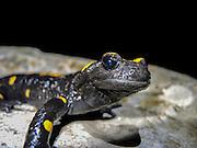 Fire Salamander (Salamandra salamandra) Close-up. Photographed in Israel in December