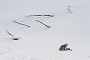 Bobcat (Lynx rufous) in Yellowstone National Park