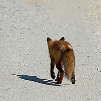 A Red Fox, Vulpes vulpes, walking away on a sandy gravel road. Edwin B. Forsythe National Wildlife Refuge, Oceanville, New Jersey, USA
