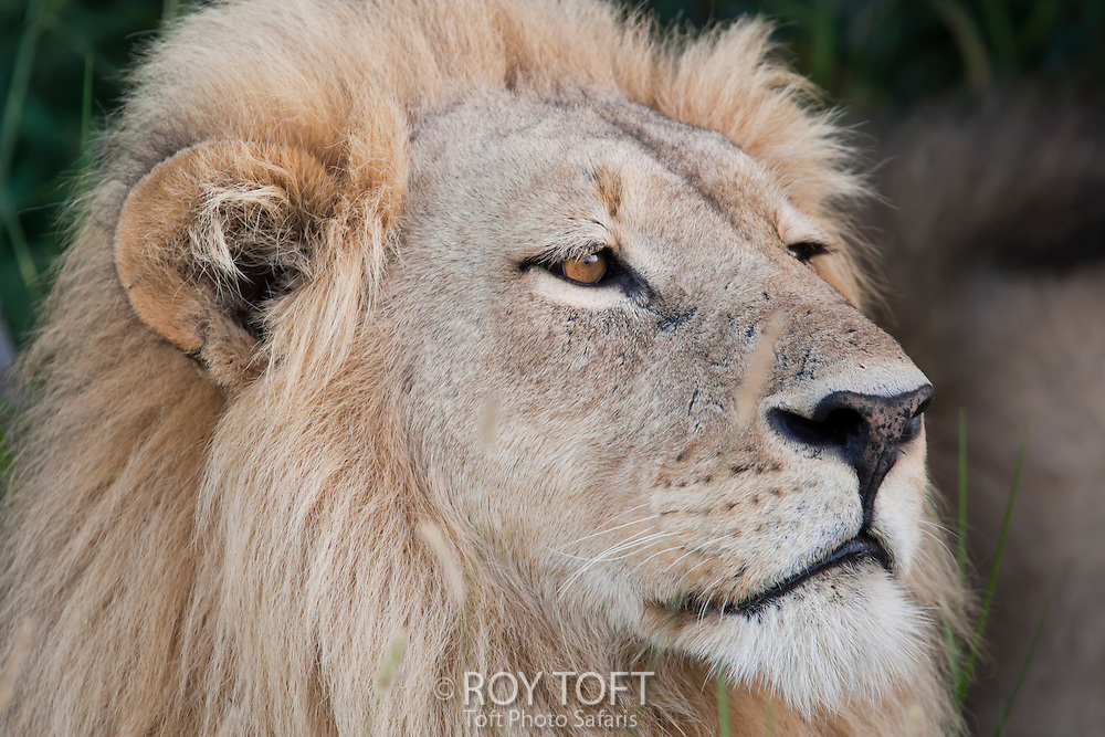Close-up portrait of an African lion, Botswana, Africa