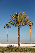 Palm trees along Sarasota Bay Sarasota, Florida