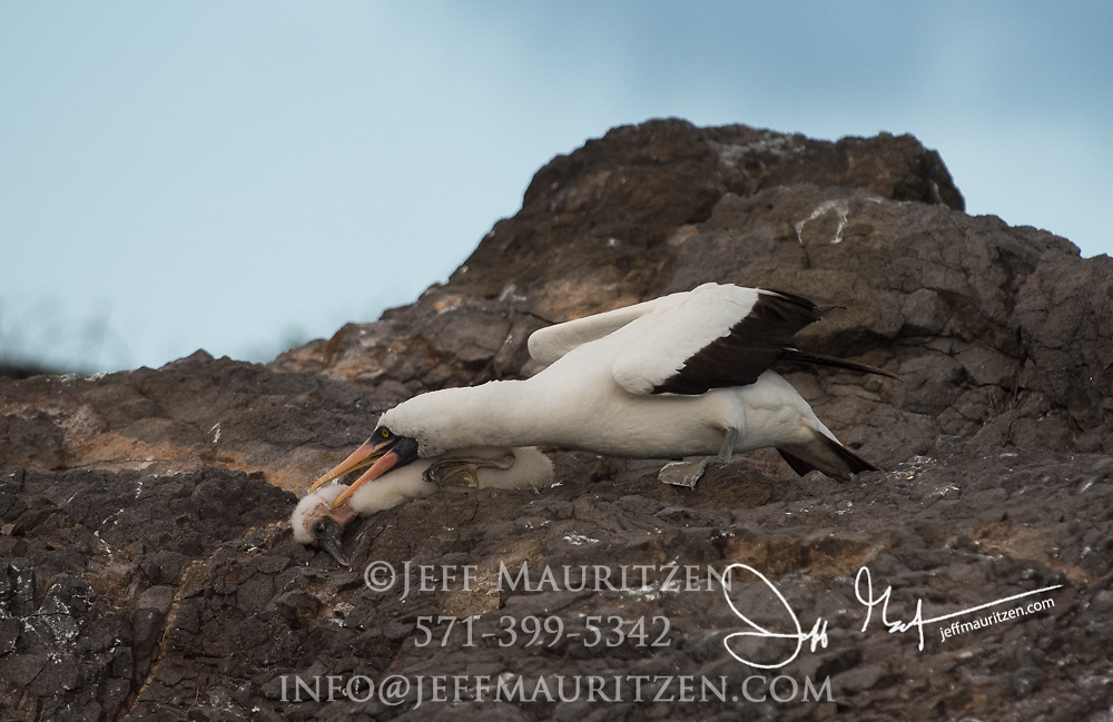 An adult Nazca booby kills a chick on Española island in the Galapagos.