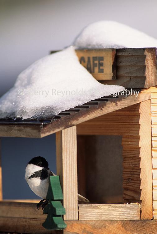 Black-Capped Chickadee, Chickadee, Winter, snow, bird house, Bird Feeder