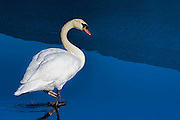 Mute Swan - Cygnus olor walking in water