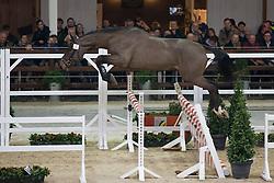 008, N Hero De Muze<br /> BWP Hengsten keuring Koningshooikt 2015<br /> © Hippo Foto - Dirk Caremans<br /> 21/01/16