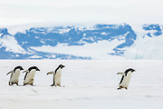 Four Adelie penguins (Pygoscelis adeliae)  with out-stretched flippers head back over ice to the ocean in order to obtain food, near Cockburn Island, Admiralty Sound, Antarctica