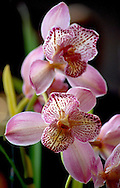 Shades of pink and yellow paint the petals of an exotic orchid flower