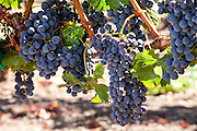 Wine grapes on the vine ready to harvest in a Napa Valley vineyard, California