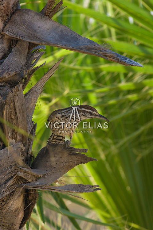 Bird on plam tree. Cabo Real Golf Course. Los Cabos, Mexico.