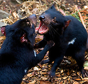 Captive Tasmanian Devils  at Tasmanian Devil Conservation Park, near Taranna, Tasmania, Australia...Most of the devils I photographed over the last week were either recovering from injuries, or orphans, seperated from parents suffering from the Tasmanian Devil Facial Tumor Disease, which is a contagious cancer. Many of these orphans or recovered will be released into the wild.