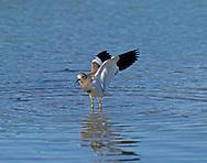 White-tailed Plover - Vanellus leucurus