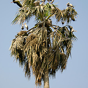 Asian openbill chicks, Anastomus oscitans in nests built in palm tree