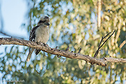 The laughing kookaburra turned around to show its creamy white chest and belly.