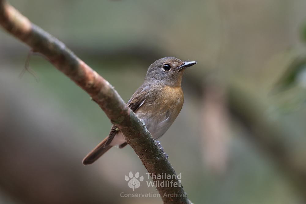 Female Tickell's blue flycatcher (Cyornis tickelliae) is a small passerine bird in the flycatcher family. This is an insectivorous species which breeds in tropical Asia, from the Indian Subcontinent eastwards to Southeast Asia. Its range stretches across all the countries from India to Indonesia.