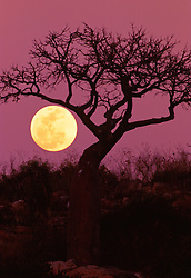 The full moon rises behind a boab tree in Sampson Inlet on th Kimberley coast.