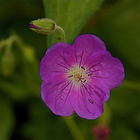 """A close-up of Geranium pratense""""Johnson's Blue"""" a purple colored  flower with a green background."""