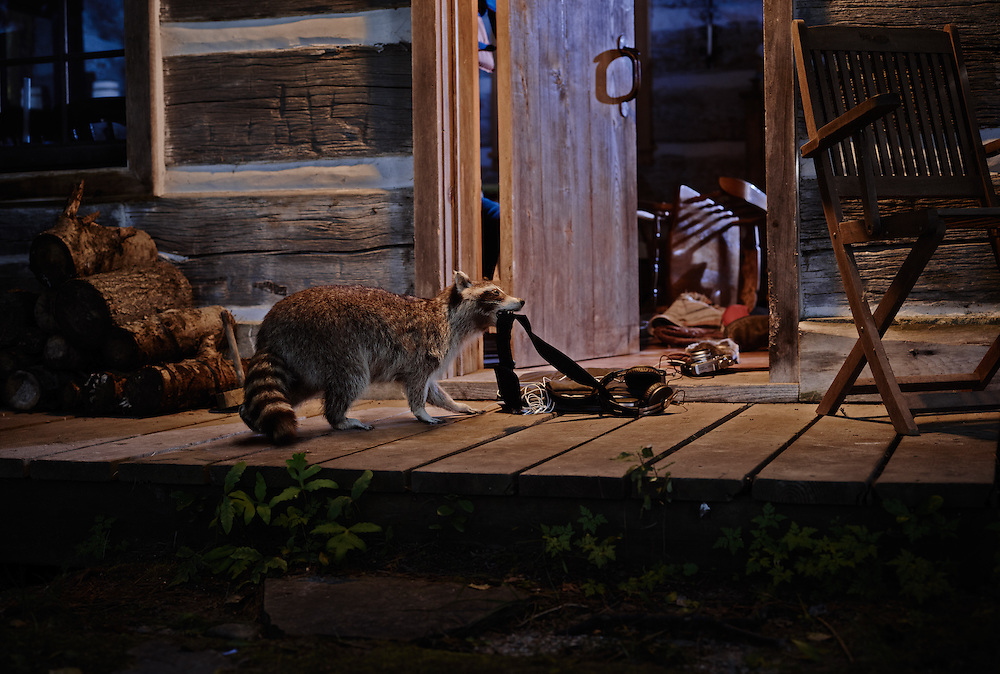 Raccoon stealing from a vintage log cabin after wrecking the interior Shot on a PhaseOne IQ180.