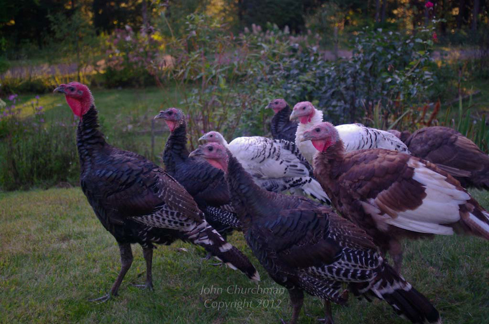 heritage turkeys on Vermont farm