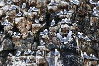 Krykkjer (Rissa tridactyla) koloni øst i Finnmark.<br /> <br /> Black-legged Kittiwake (Rissa tridactyla) on breeding cliff in Finnmark, Norway. April.