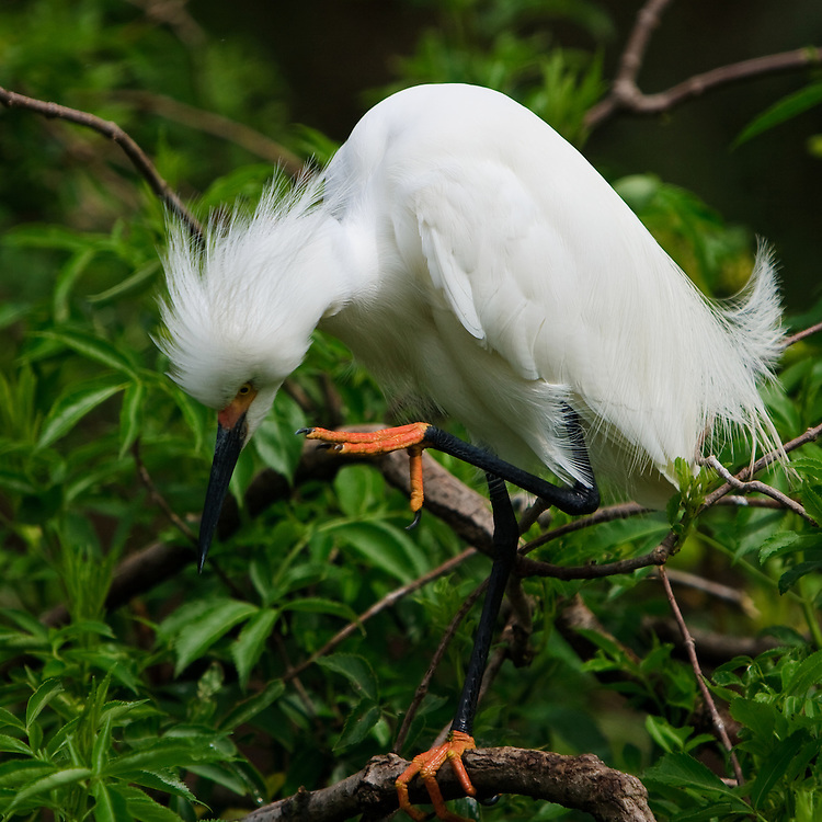 A wild breeding plumaged snowy egret (Egretta thula) actively preening at the beginning of the breeding season at the St. Augustine Alligator Farm Rookery, Anastasia Island, St. Augustine, Florida