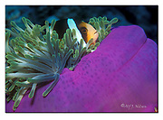 Clark's Anemonefish in the Magnificent host-sea anemon, Kuredu,Maldives. Nikon AF-601, 60mm micronikkor, Subal UW-housing, Iklite 225TTL UW-flash, Fuji Velvia 50ASA, april 1992