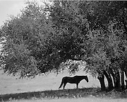 "Lone aging horse takes to the shade on a sweltering Central Texas summer day. NOTE: Click ""Shopping Cart"" icon for available sizes and prices. If a ""Purchase this image"" screen opens, click arrow on it. Doing so does not constitute making a purchase. To purchase, additional steps are required."