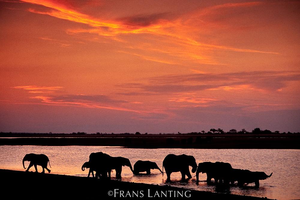African elephants drinking at sunset, Chobe National Park, Botswana
