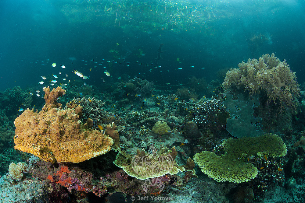 Hard Corals thrive in the shallows next to a Mangrove forest.<br /> <br /> Shot in Indonesia