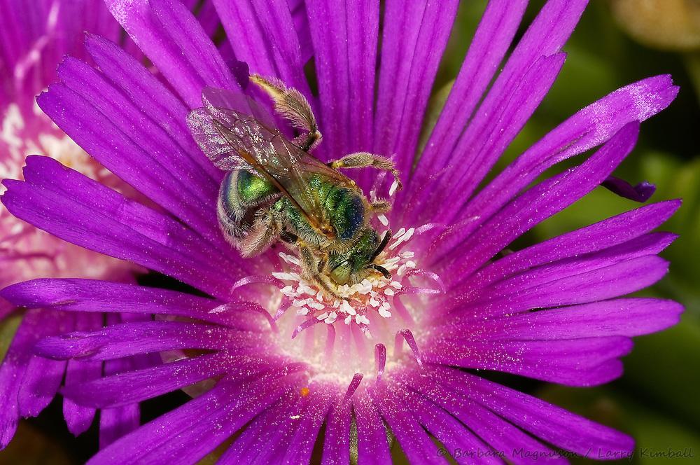 Sweat Bee [Halictid sp] feeding on nectar of Ice Plant flowers; Fremont County, CO