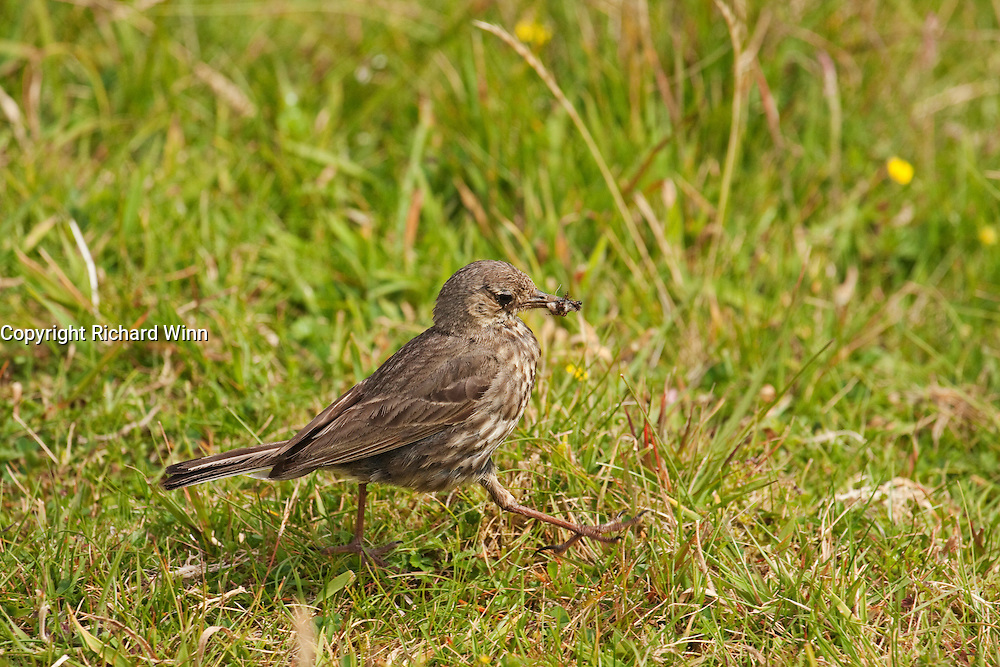 Meadow Pipit on the top of Neist Point on the northwest coast of the Isle of Skye, carrying a number of ants in its mouth.
