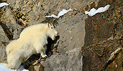 A Mountain Goat pauses as he threads his way up a cliff in Wyoming.
