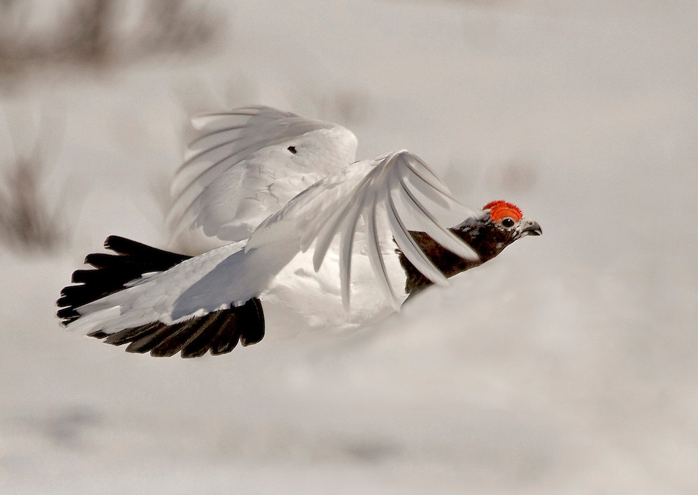 Alaska. Willow Ptarmigan (Lagopus lagopus) flying in the spring, Chugach Mountains.