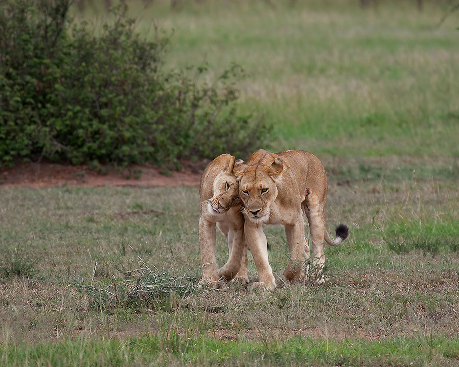 (Panthera leo) A cub, almost full grown, greets her mother. Serengeti National Park, Tanzania