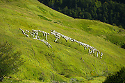 Shepherd with mountain sheep in the Pyrenees National Park, Parc National des Pyrenees Occident, France