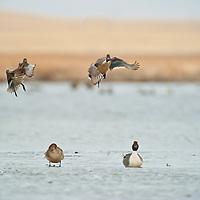 pintail drakes take flight off lake leaving drake and hen on ice
