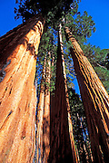 Giant Sequoias (Sequoiadendron giganteum) in the Giant Forest, Sequoia National Park, California USA