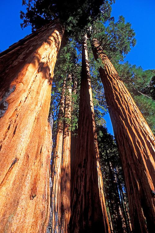 Giant Sequoias (Sequoiadendron giganteum) in the Giant Forest, Sequoia National Park, California USA